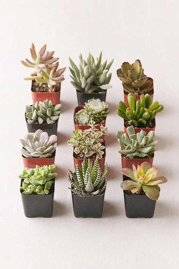 Sortimento of live succulents