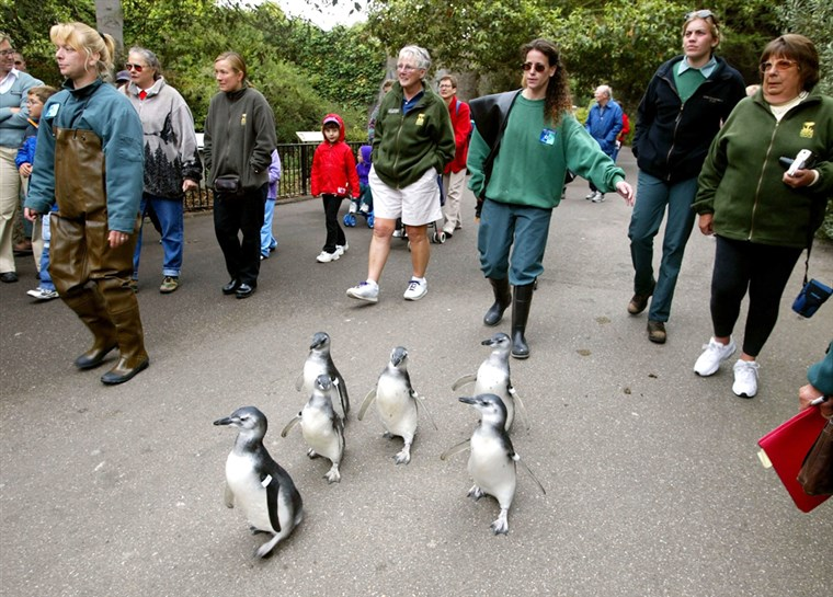 magellanske penguin chicks waddle through the San Francisco Zoo.