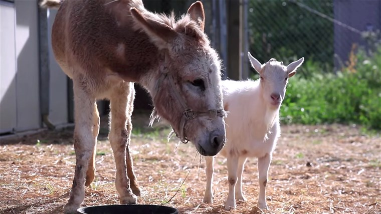 Imagem: Jellybean the burro and Mr. G the goat reunited at an animal sanctuary
