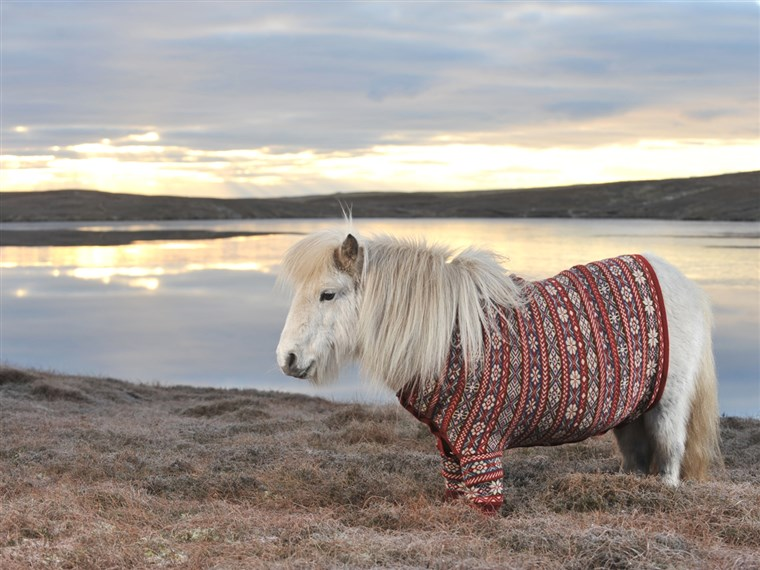 Trabalhando it: Fivla the Shetland pony dazzles in a sweater made from the wool of Shetland sheep. Shetland knitter Doreen Brown designed the custom look.