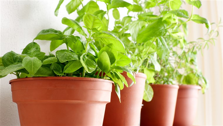 potte~~POS=TRUNC herbs: Basil, Mint and Rosemary