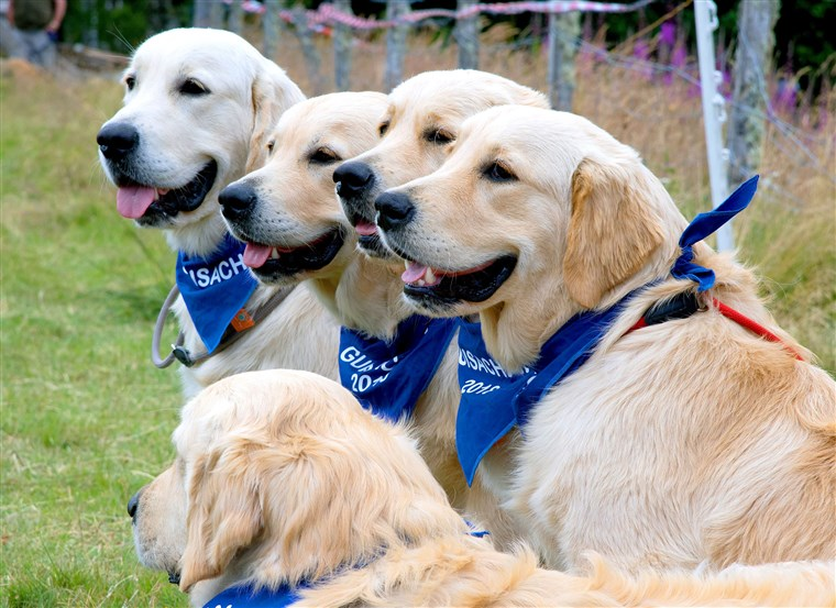 150 Anniversary of the Golden Retriever