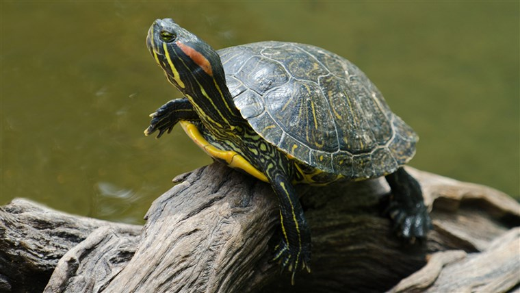EEN red-eared slider turtle basking in the sun on a dead branch; Shutterstock ID 116958556; PO: today.com