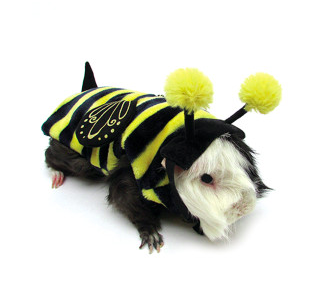 Pequeno pets like guinea pigs can celebrate Halloween too with fun, cute costumes
