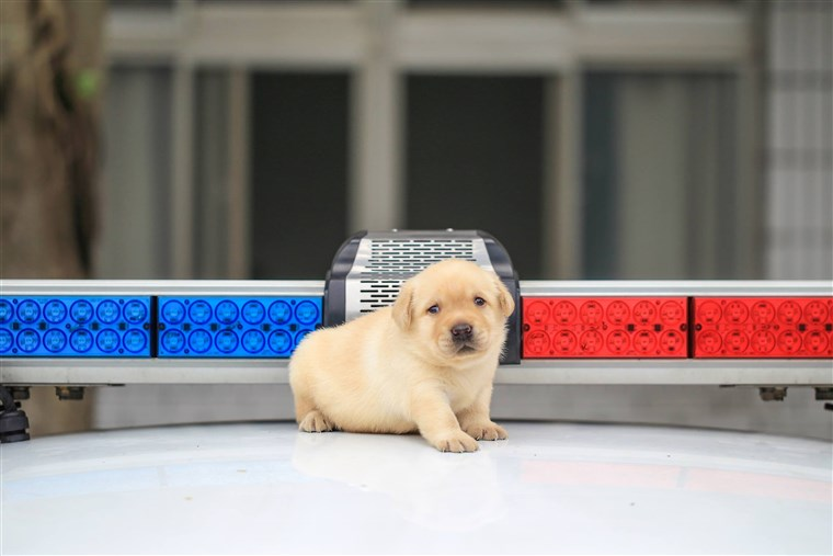 K-9 puppies recruited by Taiwanese police force